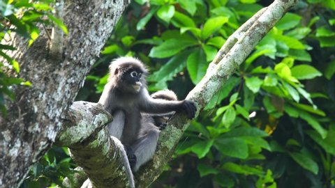 Dusky leaf monkeys or Dusky Langur seating on leaves in the rain forest , Thailand.