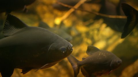 Piranha close up swimming in group in murky water