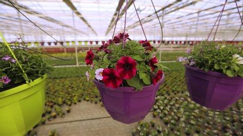 Blooming petunia close up, petunia in a pot, pink blooming petunia in a pot close up