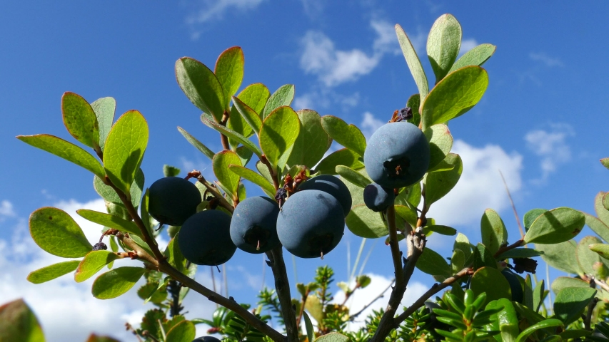 Large ripe blueberries among the tundra vegetation against the blue cloudy sky in the autumn sunny forest.