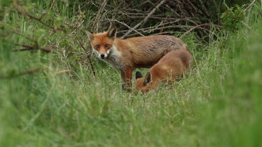 A vixen Red Fox, Vulpes vulpes, and her cute cub, are feeding at the entrance to their den. In the background other Foxes can be seen coming in and they have a scuffle. | Shutterstock HD Video #1030725140