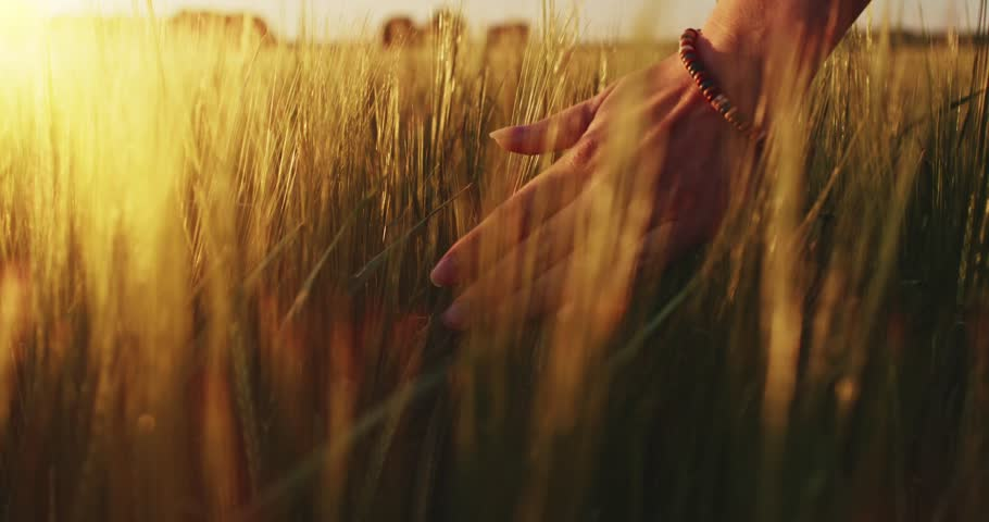 Close-up of woman's hand running through wheat field, dolly shot. Slow motion 120 fps. Filmed in 4K DCi resolution. Girl's hand touching wheat ears closeup. Sun lens flare.  Good harvest concept.