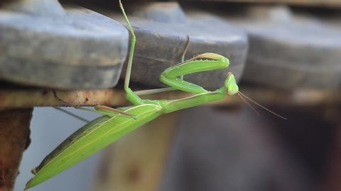 Praying Mantis, European Mantis or Mantis Religiosa (Mantidae) close up view. Macro footage of green mantis insect grooming himself in nature environment (HD).