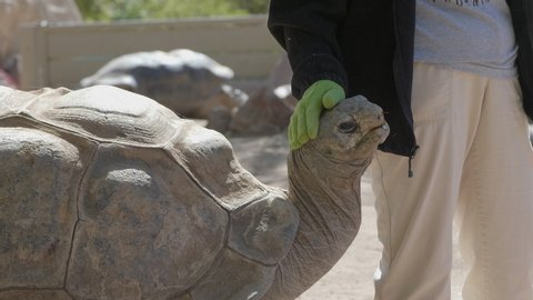 Zookeeper pats the giant brown scaly Giant Aldabra Tortoise reptile on the head and shell as it looks pleased. Close up.