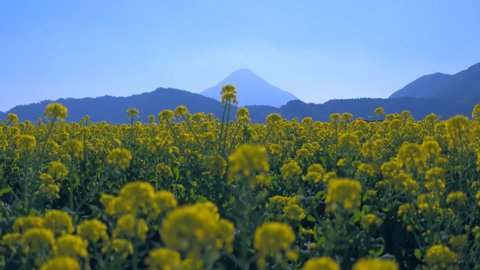 Amazing rape blossom field with Fuji mountain is backround at Japan.
