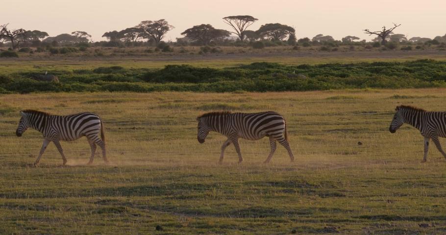 Zebras in Amboseli National Park, Kenya | Shutterstock HD Video #1031599730
