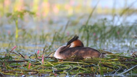 Great Crested Grebe, Podiceps cristatus, water bird sitting on the nest