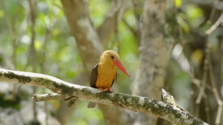 Brown winged kingfisher perching on branch in mangrove forest looking for fish in the water at phang nga province Thailand. Footage of brown winged kingfisher in HD.  | Shutterstock HD Video #1031866940