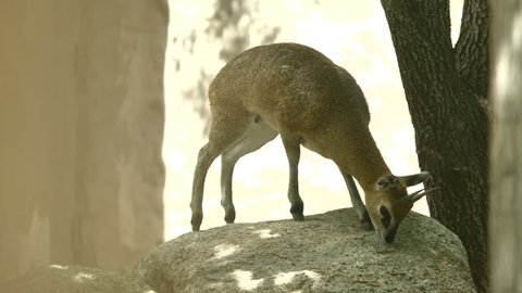Here is a shot of a Klipspringer jumping off of a Rock. Shot on a BMCC at the Albuquerque Zoo in NM.