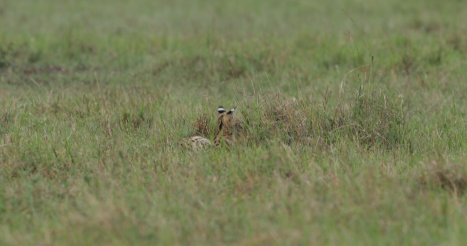 Serval cat hunting and stalking in the long grass in Kenya's Maasai Mara, East Africa.  #1032259610