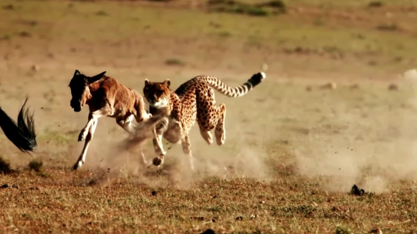 Amazing Footage of a Cheetah Chasing Down its Prey Slow Motion | Shutterstock HD Video #1032787010