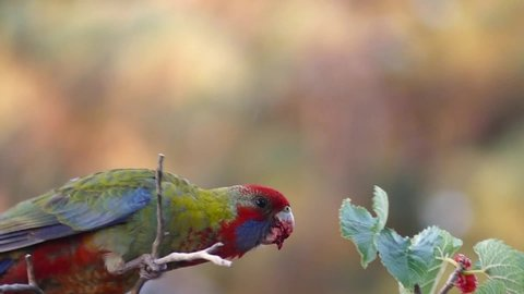 Rosella eating red berries at dawn whilst singing