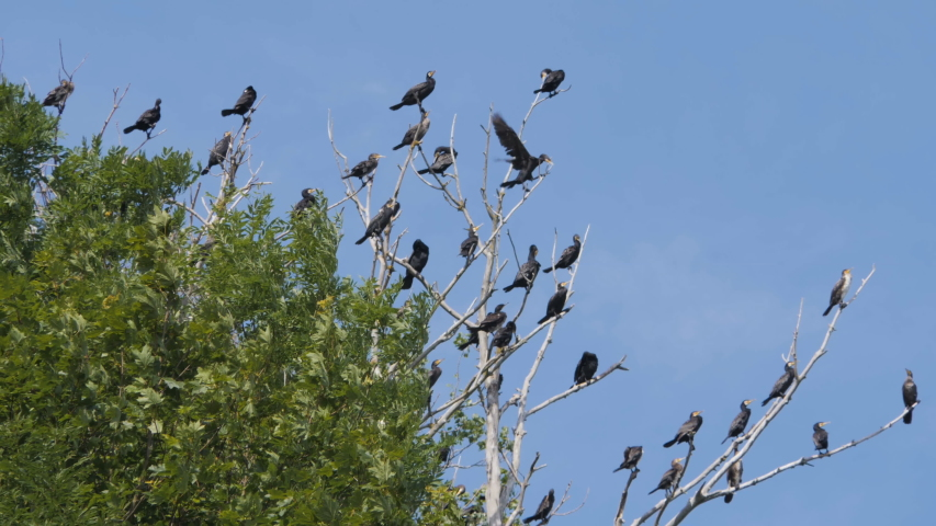 Many birds on the tree.. Slow motion. Birds Geese flying in formation, Blue sky background. Migrating Greater bird flying in Formation. Flock of Birds on branch. | Shutterstock HD Video #1033223270