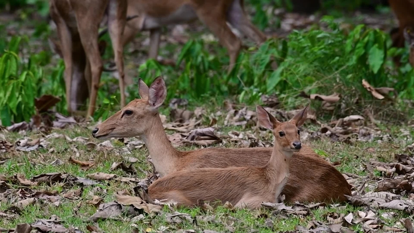 The Eld's Deer is an Endangered species due to habitat loss and hunting;  | Shutterstock HD Video #1033275200