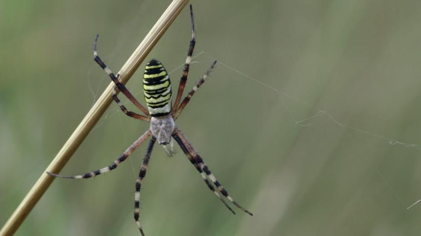 Yellow and black garden spider | Shutterstock HD Video #1033585370