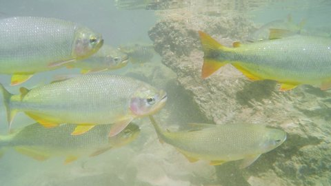 Diving underwater of a river and seeing a shoal of large Piraputanga fishes swimming on transparent water of a river at the touristic destination of Bonito MS, Brazil. Shoal of Piraputanga fishes.