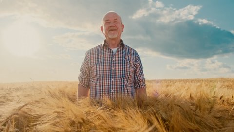 Portrait shot of the good looking senior bold man in the plaid shirt standing in the golden wheat field, crossing hands in front of him and smiling happily to the camera on the sunny sky background.