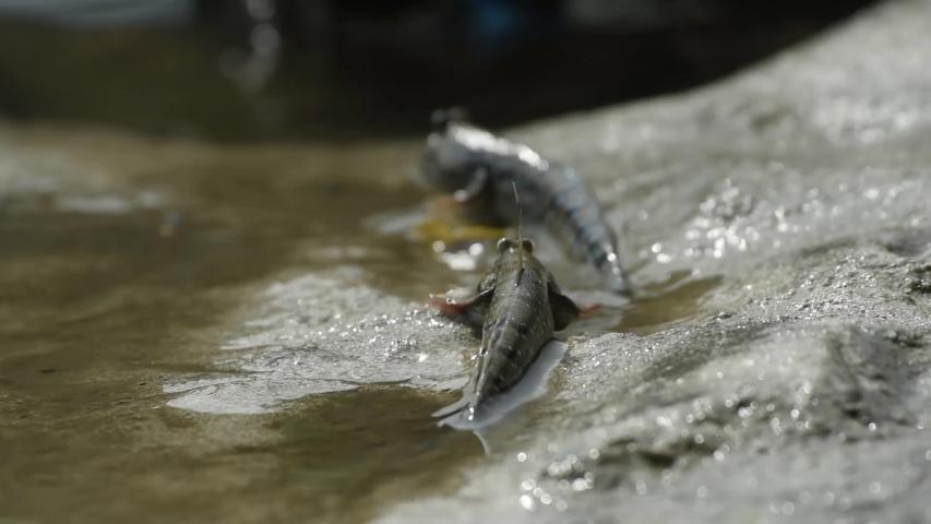 The Mudskipper or  Amphibious fish live in the mangroves. at Laem Phak Bia, Gulf of Thailand, Phetchaburi, Thailand.  | Shutterstock HD Video #1034363060