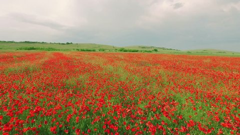 Field Red Flower Poppy Nature Green Summer Sky Landscape Meadow Grass Blue Cloud Petal Beauty Sunlight Farm Color Plant Blossom Bloom Wild Horizon Rural Season Spring Background Natural Floral