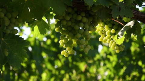 bunch of young white grapes in a green vineyard in the Chianti region of Tuscany in the countryside near Florence. Summer season. Italy.