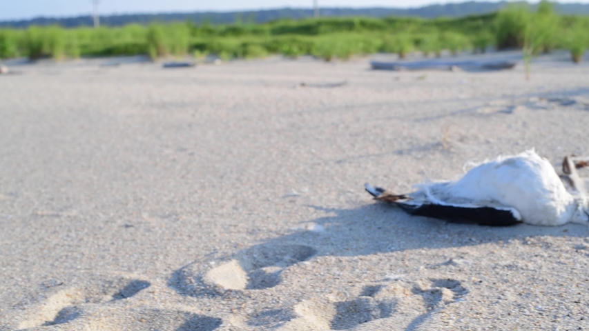 Dead seagull lays on sand at beach, environmental pollution. Ecological problem   Shutterstock HD Video #1034746910