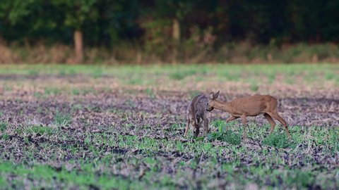 Roe deer female standing with fawn in the field and search feed, summer, (capreolus capreolus), germany