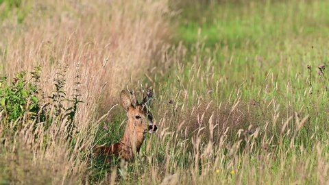 Roe buck look for female and lie down in the meadow, summer, (capreolus capreolus), germany