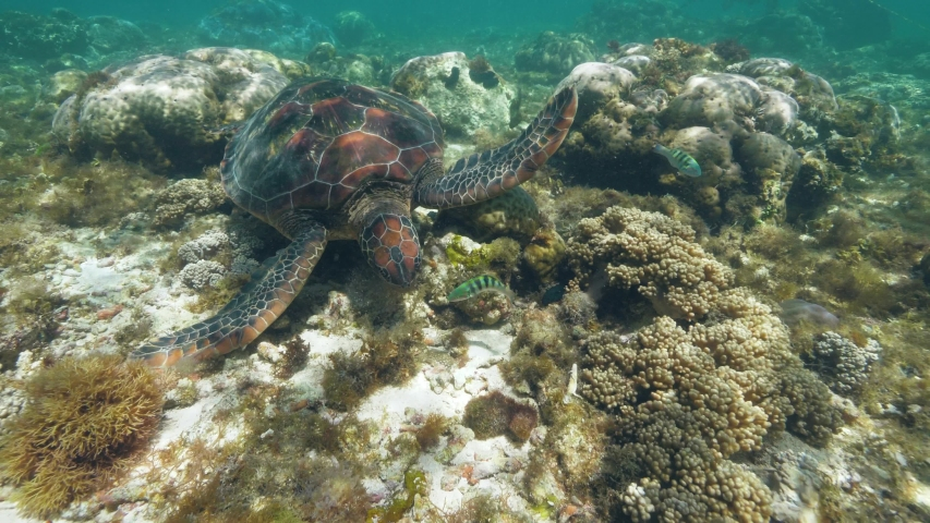 Sea turtle Chelonia mydas is swimming at ocean floor and eating seaweeds. | Shutterstock HD Video #1035265130