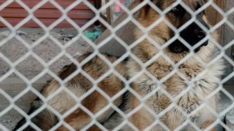 The dog sits closed in a metal cage. German Shepherd. View through a metal grid. Panning left down to right up.