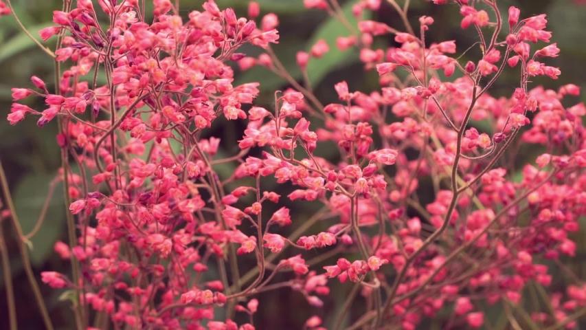 Lots of small purple flowers plants on summer meadow. Nature. Wind waves thin stems of wildflowers. Heuchera   Shutterstock HD Video #1035435440