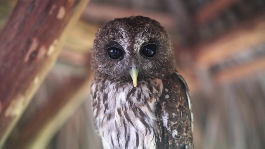 Big eyes owls close up   Shutterstock HD Video #1035604970