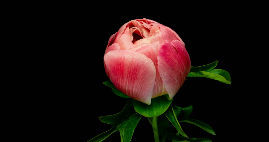 Time lapse of pink peony flower blooming on black background (with matte) | Shutterstock HD Video #1035611960