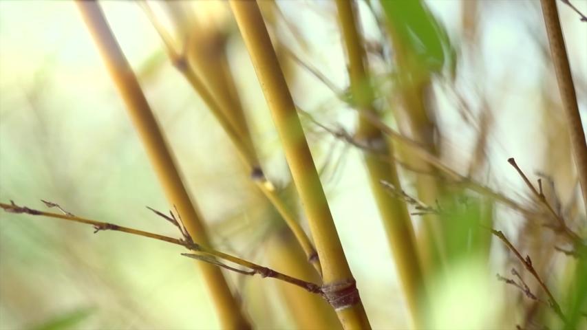 Bamboo. Bamboos Forest. Growing bamboo in Japanese garden swaying on wind. Garden design. Sun light. Slow motion 120 fps, 4K UHD video 3840x2160 | Shutterstock HD Video #1035708470