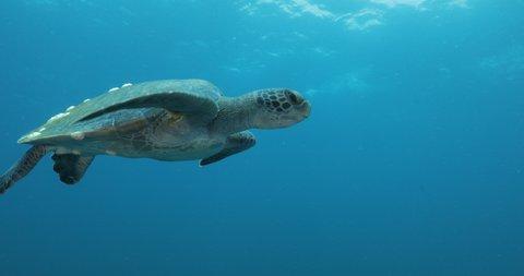 Green Turtle, (Chelonia mydas) swimming on the reefs of the Sea of Cortez, Baja California Sur, Mexico.