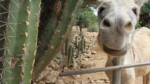 Donkey By Cactus Close To Camera