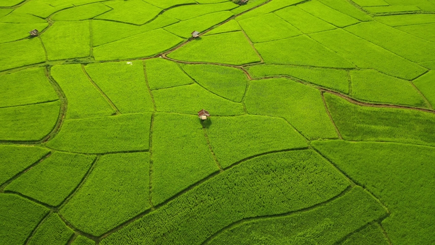 Aerial view of agriculture in rice fields for cultivation. Natural the texture for background