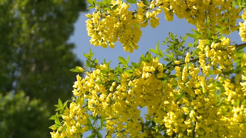 Yellow Acacia Blossom Bumblebee Collecting Stock Footage Video