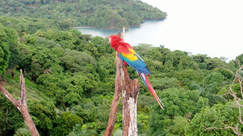 Close up shot of a Scarlet Macaw parrot bird standing on a tree branch with the dense tropical rain forest at Manuel Antonio National Park, Costa Rica | Shutterstock HD Video #1036210640