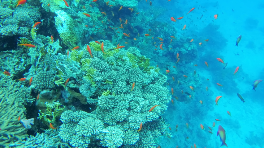 Scuba Diving. The Underwater World of the Red Sea with Colored Fish and a Coral Reef. Tropical reef marine. Beautiful underwater landscape with tropical fish and corals #1036248560