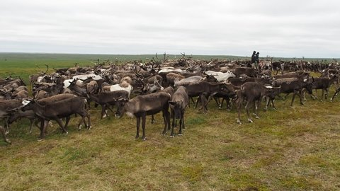 A herd of reindeer in the tundra in the summer on the Yamal Peninsula, close-up. Western Siberia, Russia
