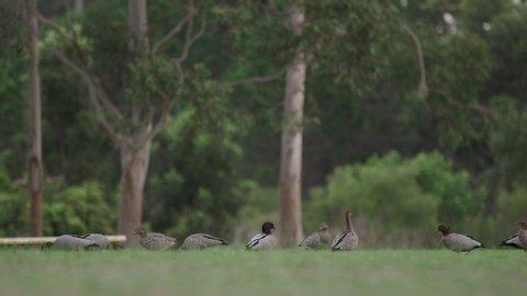 Wood ducks on an open field
