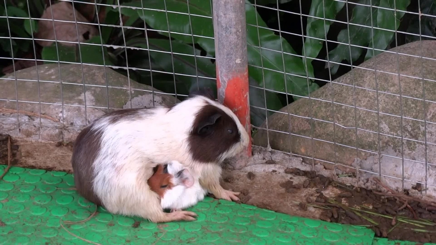A mother guinea pigs is nursing a new born pig in the farm. Domestic guinea pig has enjoyed widespread popularity as a pocket pet or household pet. | Shutterstock HD Video #1036488350