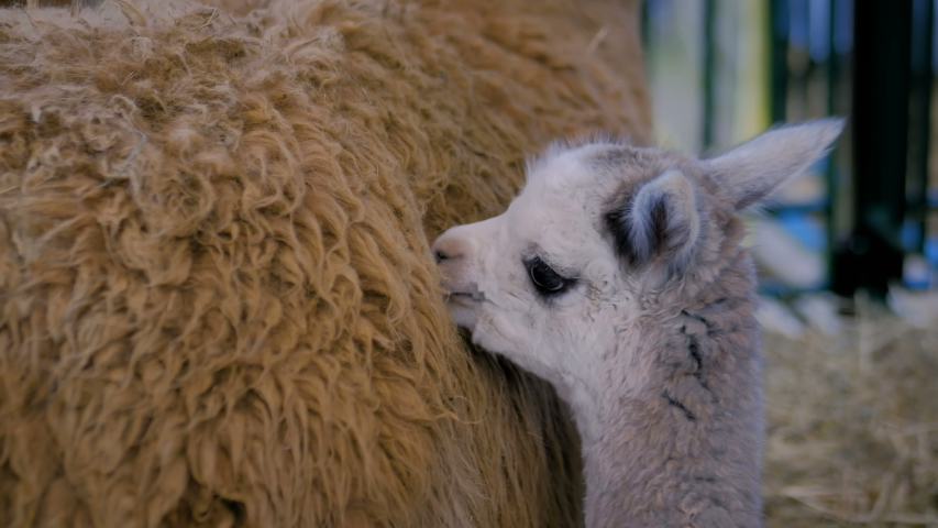 Portrait of cute little alpaca licking mother wool at agricultural animal exhibition, trade show - close up. Farming, grooming, care, family, agriculture industry, livestock, animal husbandry concept | Shutterstock HD Video #1036954400