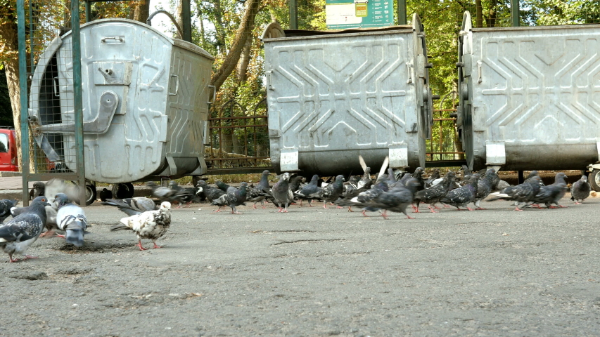 Gray wild pigeons walk on sidewalk in city by garbage cans, look for, collect and find food for themselves. The life of wild birds in city. Outdoors. | Shutterstock HD Video #1036976270