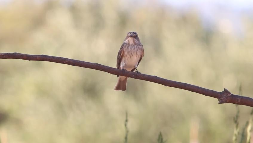 Spotted flycatcher, Muscicapa striata, birds, animals | Shutterstock HD Video #1037194580