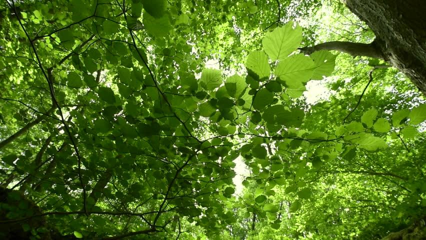 Sunlight peaks through beech  leaves | Shutterstock HD Video #10372055