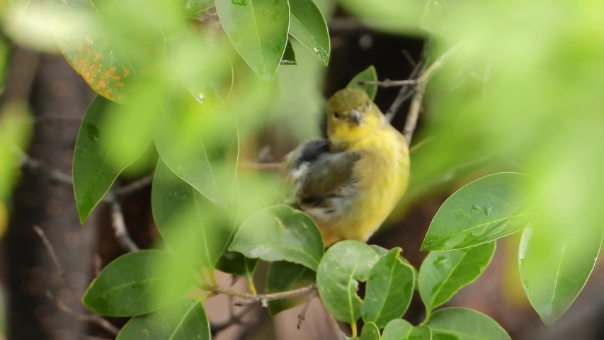 Small finch bird cleaning up after early morning rain. | Shutterstock HD Video #1037236340