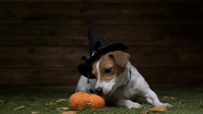 Dog Jack Russell Terrier In Witch Costume For Halloween Holiday | Shutterstock HD Video #1037372330