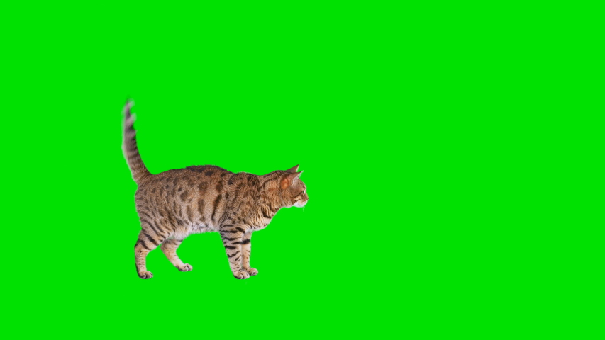 4K Bengal cat on green screen isolated with chroma key, real shot. Cat slowly walking across the frame from left to right, stops and runs away, then runs back across the frame from right to left | Shutterstock HD Video #1038407750