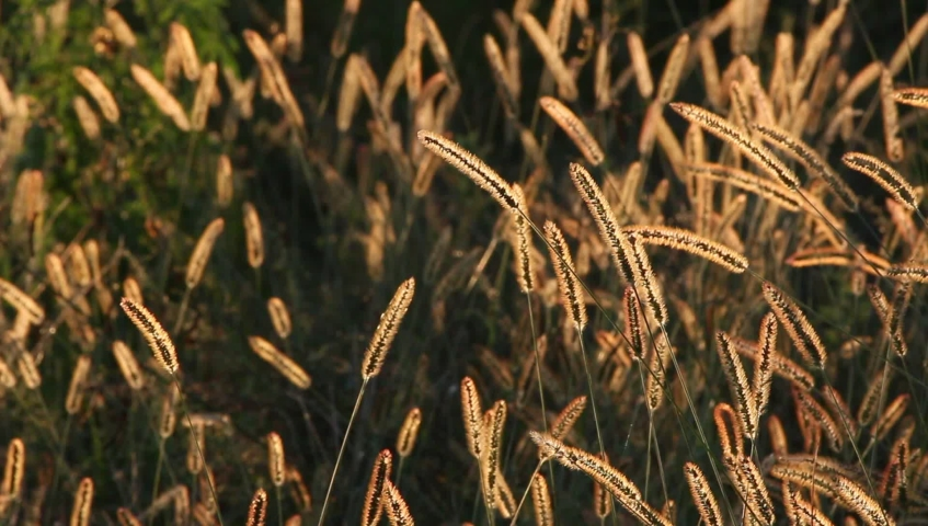 Swaying foxtails in the field in the evening  | Shutterstock HD Video #1038733010